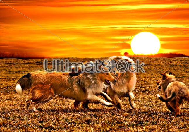 Collie dogs playing during sunset