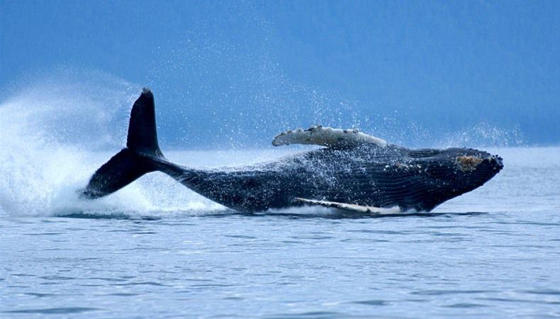 Besondere Tiere Der Roten Liste So Schon Und So Gefahrdet Buckelwal Tiere Tier Fotos