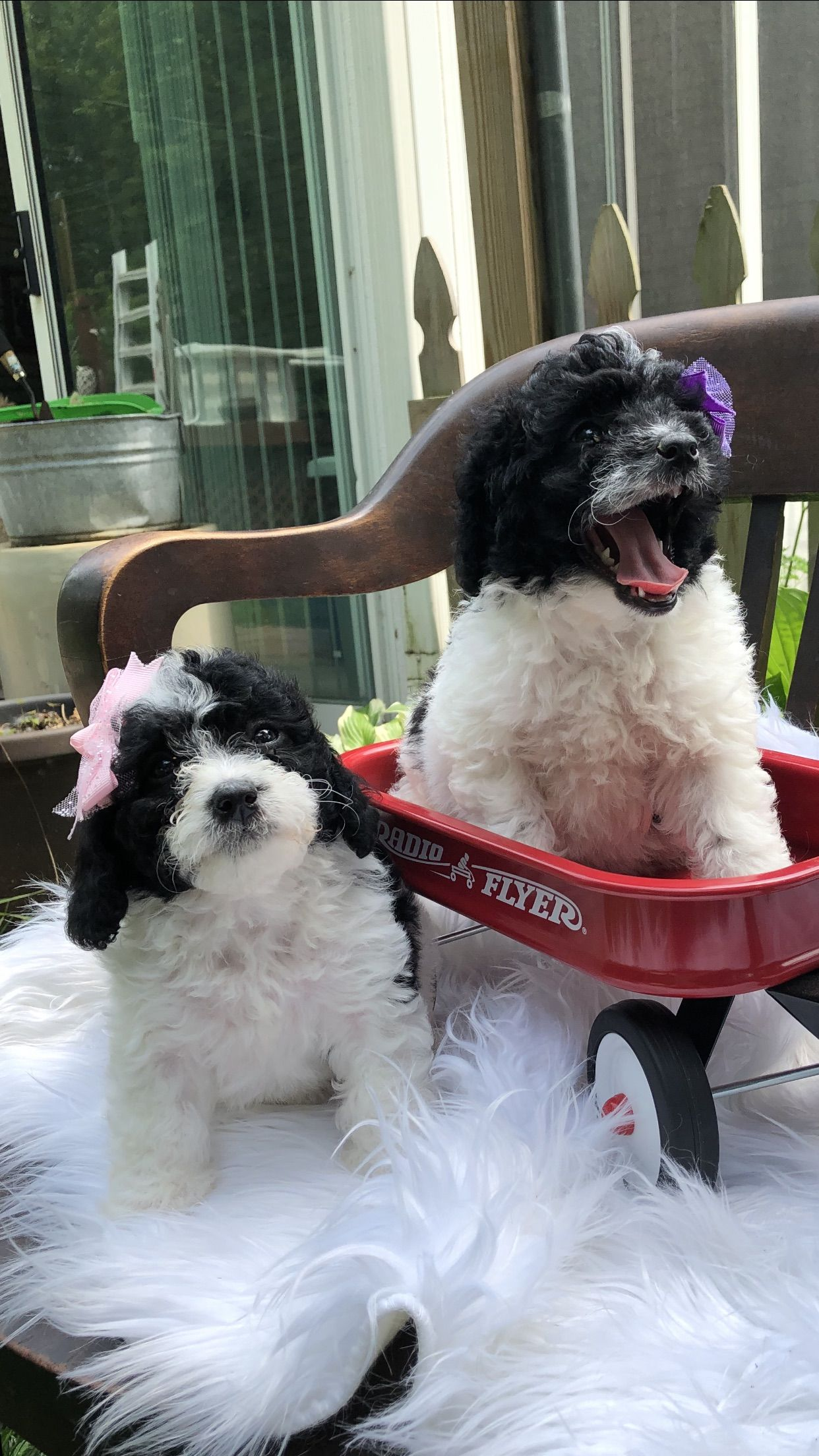bernedoodle puppies for sale in michigan Bernedoodle