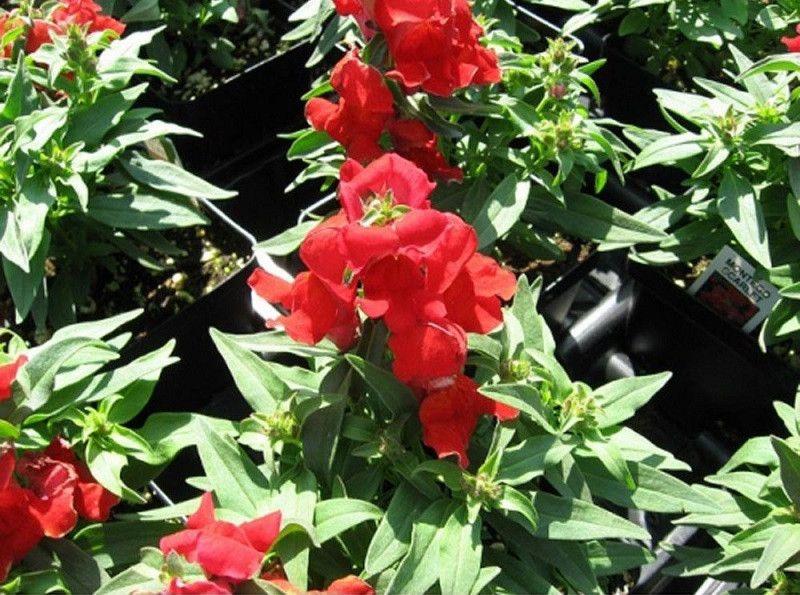 1,000 Pelleted Seeds Snapdragon Montego Scarlet Flower