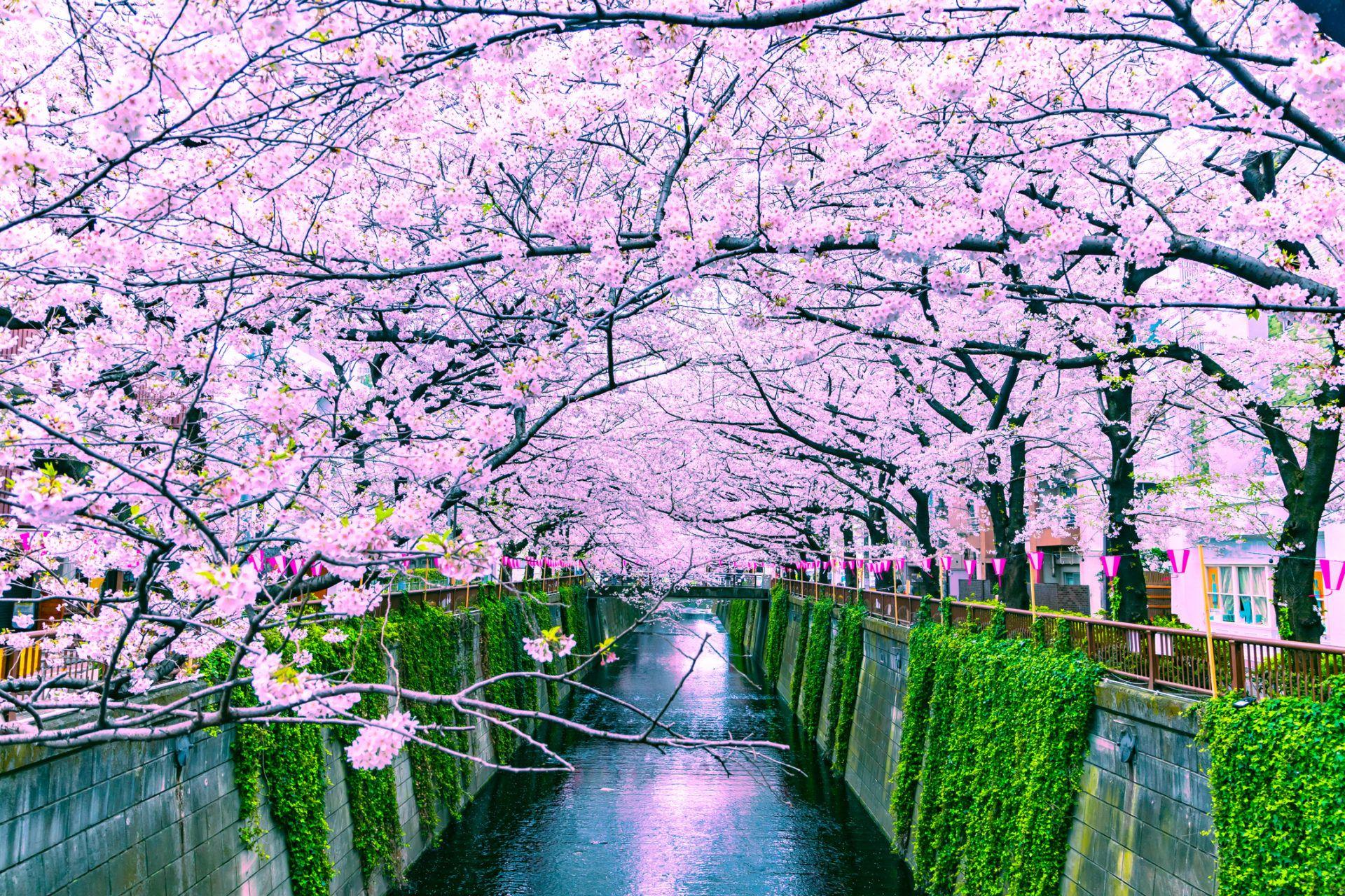 Cherry Blossom Sakura 2018 Japan Forecast When Where To Visit Blossom Cherry Cherryblossom Forecast Japan S Japan Travel Tips Japan Japan Holidays