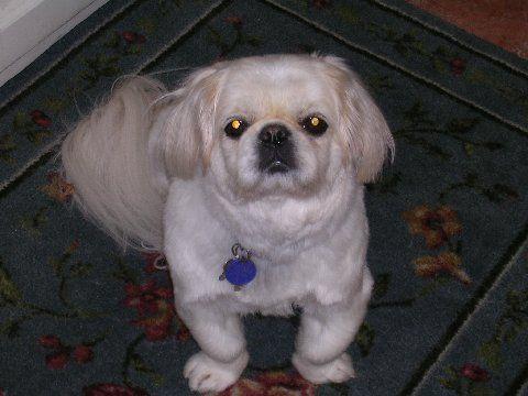 Pekingese Puppy Cut |     that i had my cranberry get a