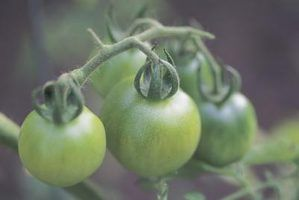 Homemade Fungicide For Tomatoes Green Tomatoes How To 400 x 300