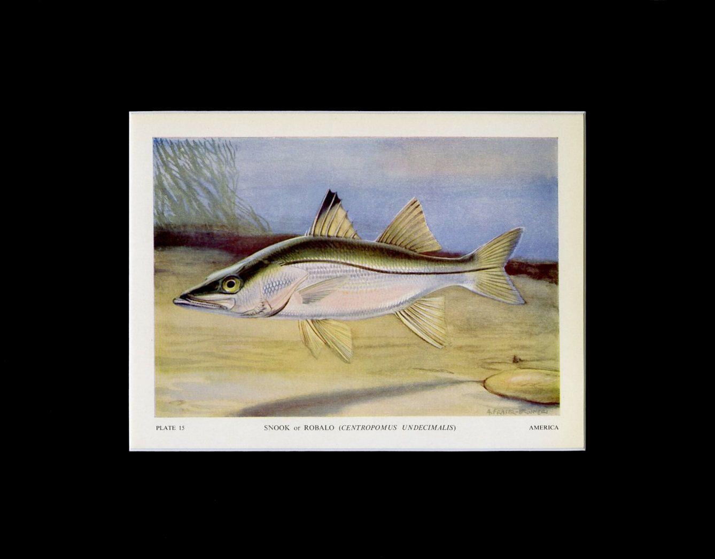 Snook or Robalo Original c. 1949 Fish Print Vintage Fish