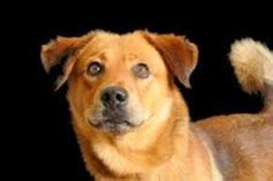 Ohio Nala Is A Young Adoptable Chow Chow Dog In Cleveland
