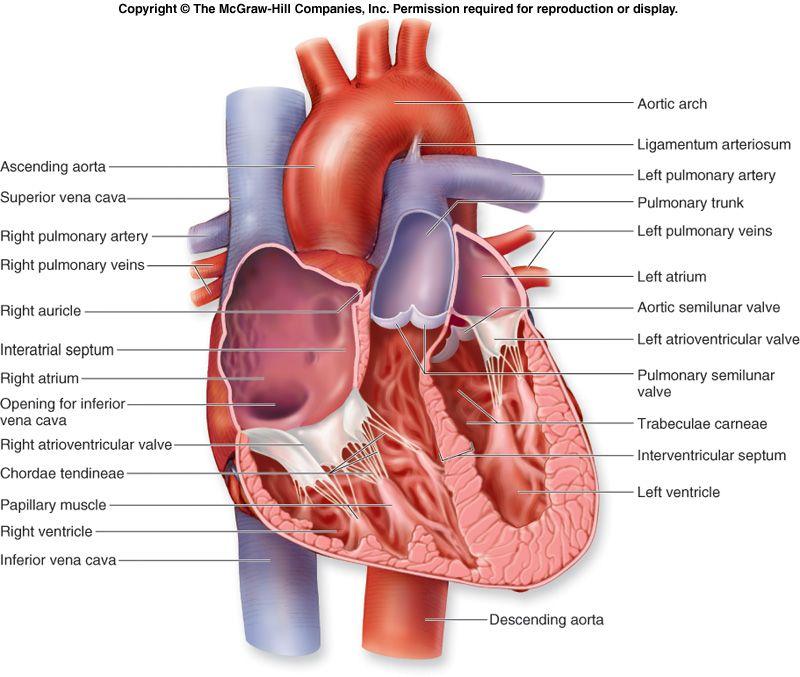 Internal structure of Heart: | biology | Human anatomy chart