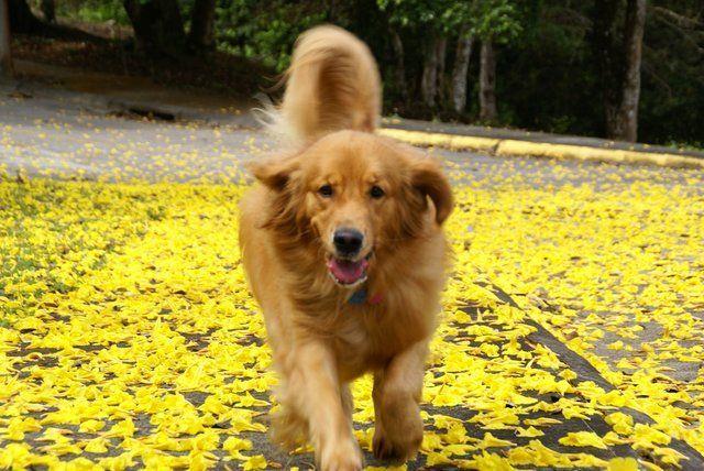 Tara Golden Retriever Most Beautiful Dog Breeds Beautiful Dog Breeds Beautiful Dogs
