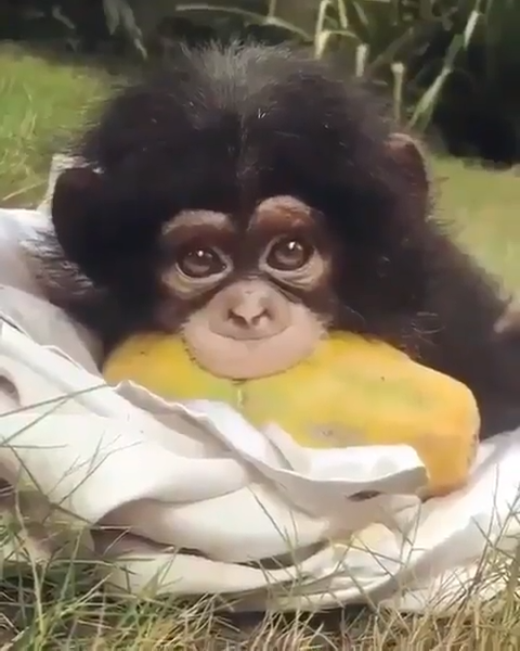 Baby Chimpanzee...not a monkey!!