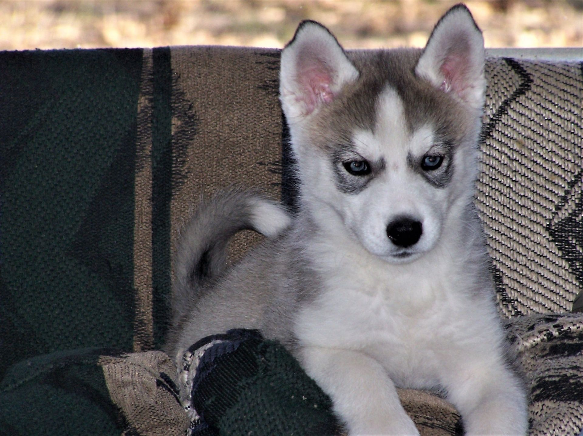 Siberian Husky Puppy Close Up Puppies Husky Puppy Losing A Dog