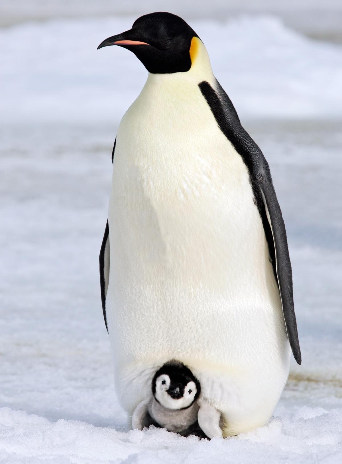 Warm And Cozy Emperor Penguin