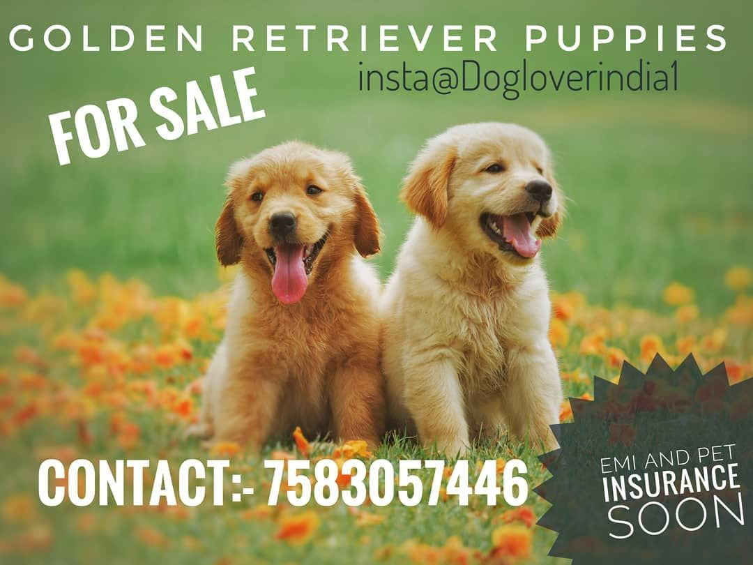 Golden Retriever Puppies Available All Breed Dogs Cats