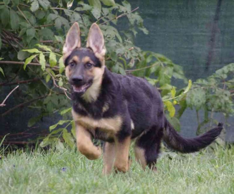 4 Month Ddr East German Shepherd Female Black Tan German Shepherd Gsd Puppies For Sale Caucasian Mountain Dog