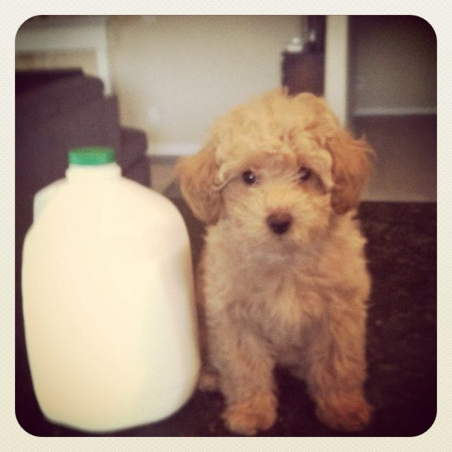 Small Dog Toy Poodle Bichon Poochon Bichpoo Cute Little