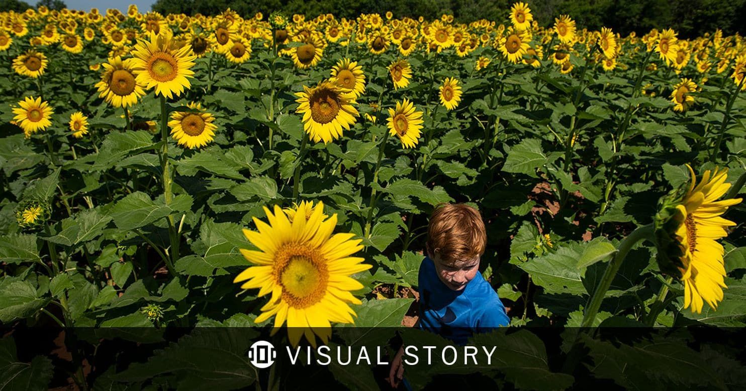 A Sea Of Sunflowers Blooming Near The District With Images Sunflower Bloom Sea