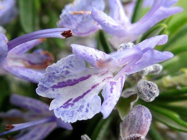 Il fiore del Mare | Samudaya