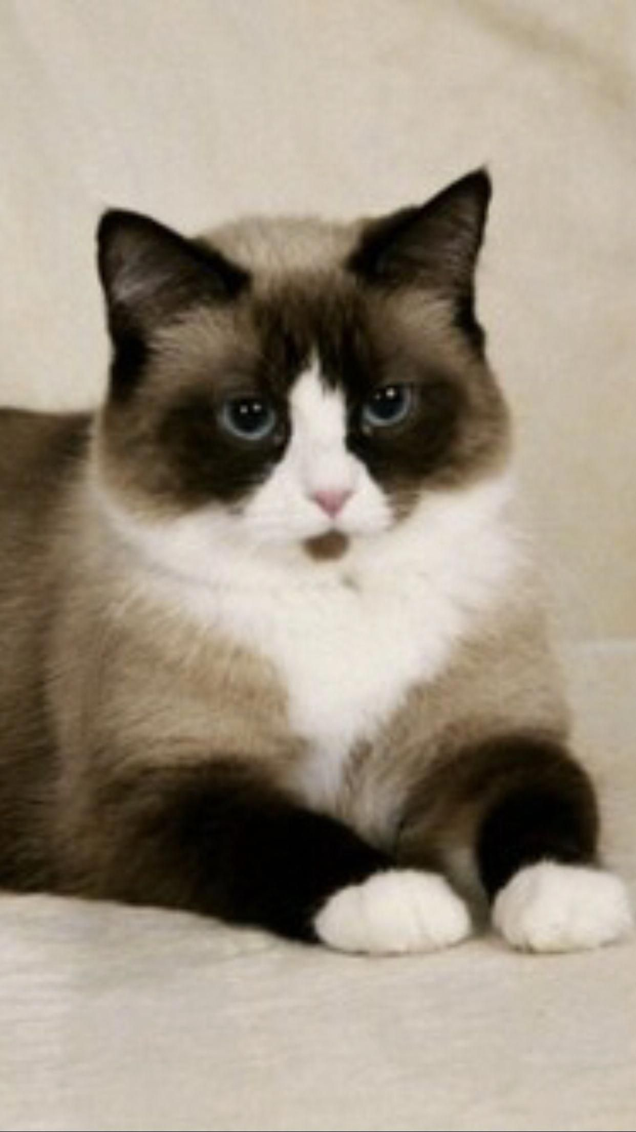 Snowshoe Cats Cat Breeds Cute Animals Beautiful Cats