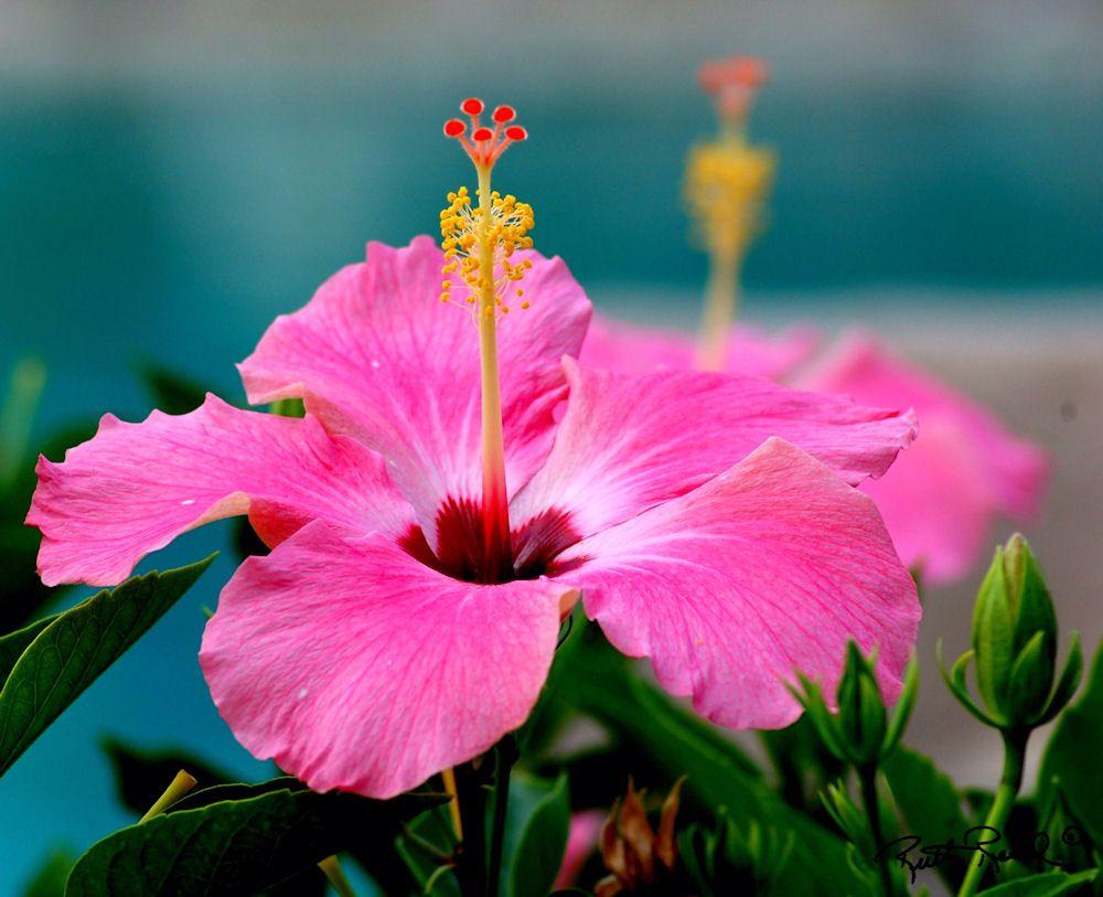 Hibiscuss my photography pinterest hibiscus flowers and flower photography series hawaii hibiscus photo by ruth read taken in hawaii digital print on kodak professional metallic finish paper size 11 x open izmirmasajfo