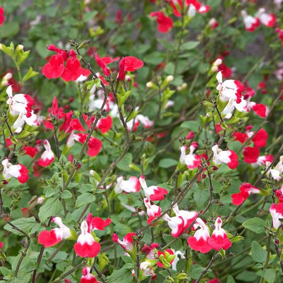Salvia Microphylla Hot Lips Two Tone Red White Tough Multi