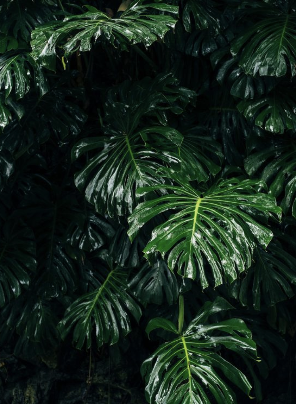 Tropical Plants Iphone Wallpaper Iphone 11 Backgrounds Palm Plants Monstera Leaf Wallpapter Hawaii Vibe Dark Green Aesthetic Green Nature Plant Aesthetic