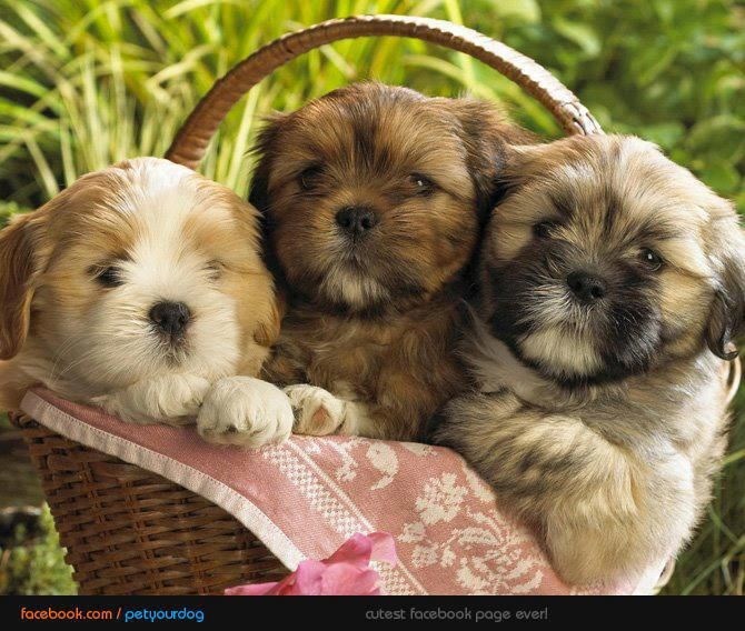 Aren T They Adorable D Teddy Bear Puppies Puppies Cute Puppy Wallpaper