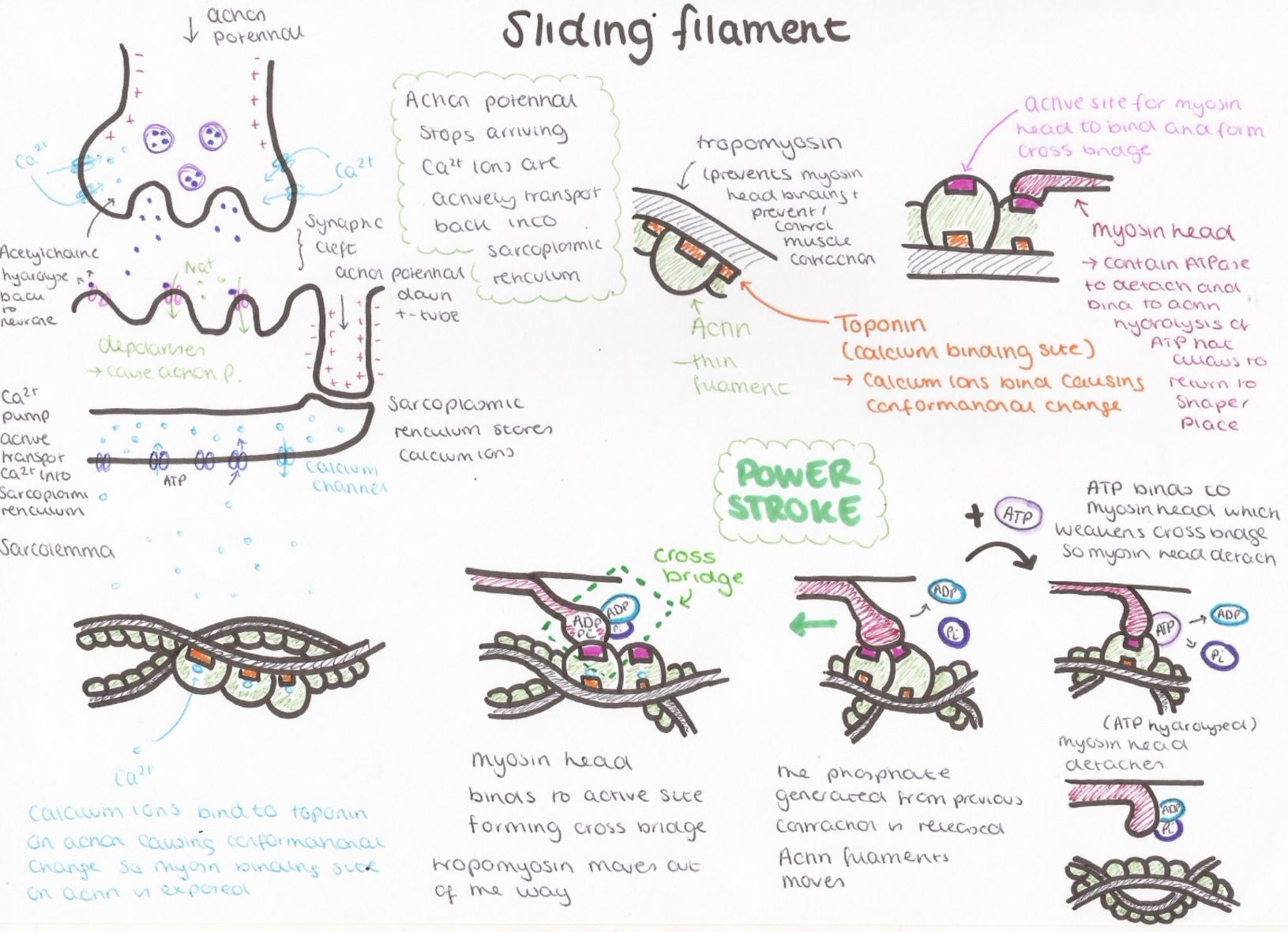 Pin by Fatos Dalokay on Biology Biology, Notes, Muscle