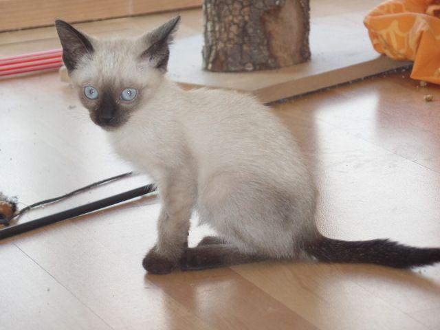 Gatita De Tipo Siames De Menos De Dos Meses Es Un Poco Asustadiza Adoptar Mascotas Adopcion Perros Gatos Proyecto Mascota Gatos Animal Doméstico