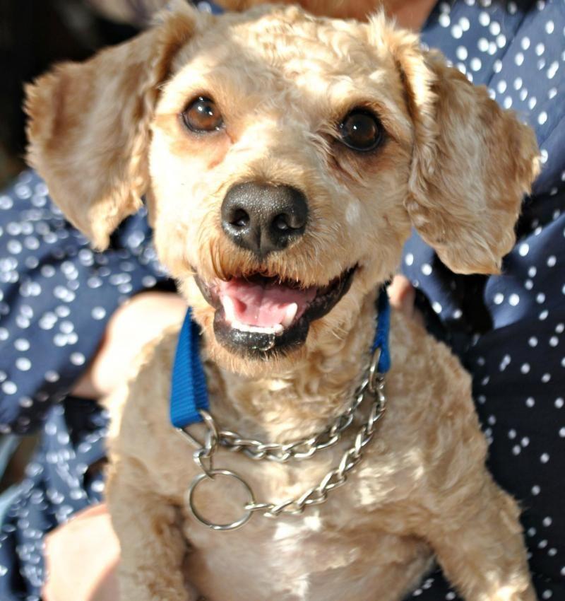 Adopt Chance On Petfinder Cockapoo Dog Dogs Dog Cat