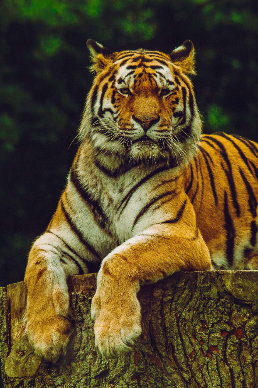 tiger animal wildlife wildanimal wild photooftheday