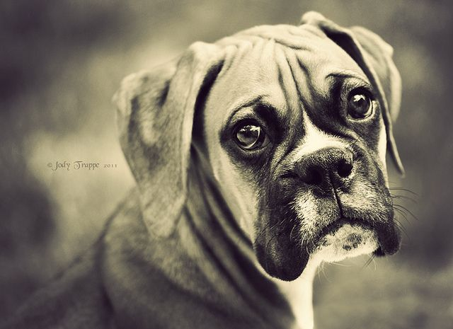 O M G Boxer Dogs Boxer Puppies Dogs