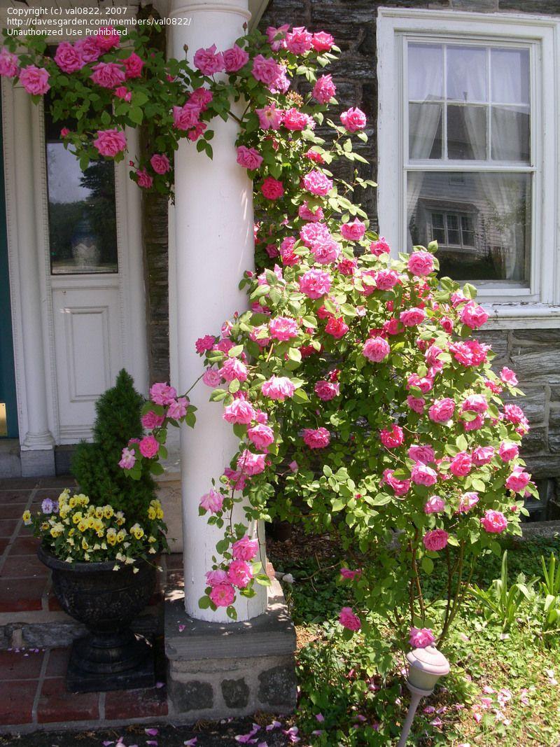 Zephirine Drouhin Climbing Rose bourbon rose 'zephirine drouhin' ~ old rose which is