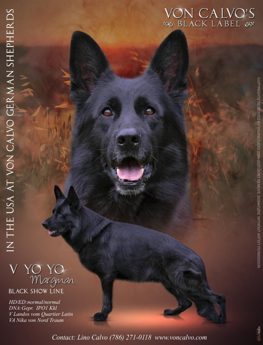 Von Calvo German Shepherds Black Label In 2020 German Shepherd