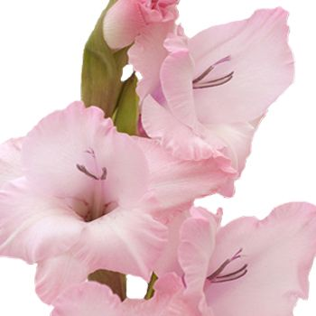 Gladiolus light pink flower light pink flowers gladioli and tall fiftyflowers gladiolus light pink flower mightylinksfo