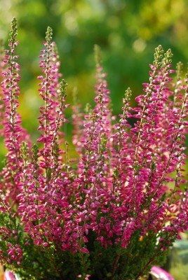 Pink Heather Flowers They Grow Wild In Ireland And England Heather Flower Autumn Garden Fragrant Garden