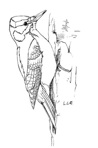 Hairy Woodpecker Coloring Page With Images Bird Coloring Pages