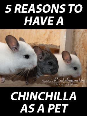 5 Reasons To Have A Chinchilla As A Pet Small Pet Select Your 1 Source For Timothy Hay Chinchilla Pet Small Pets Chinchilla