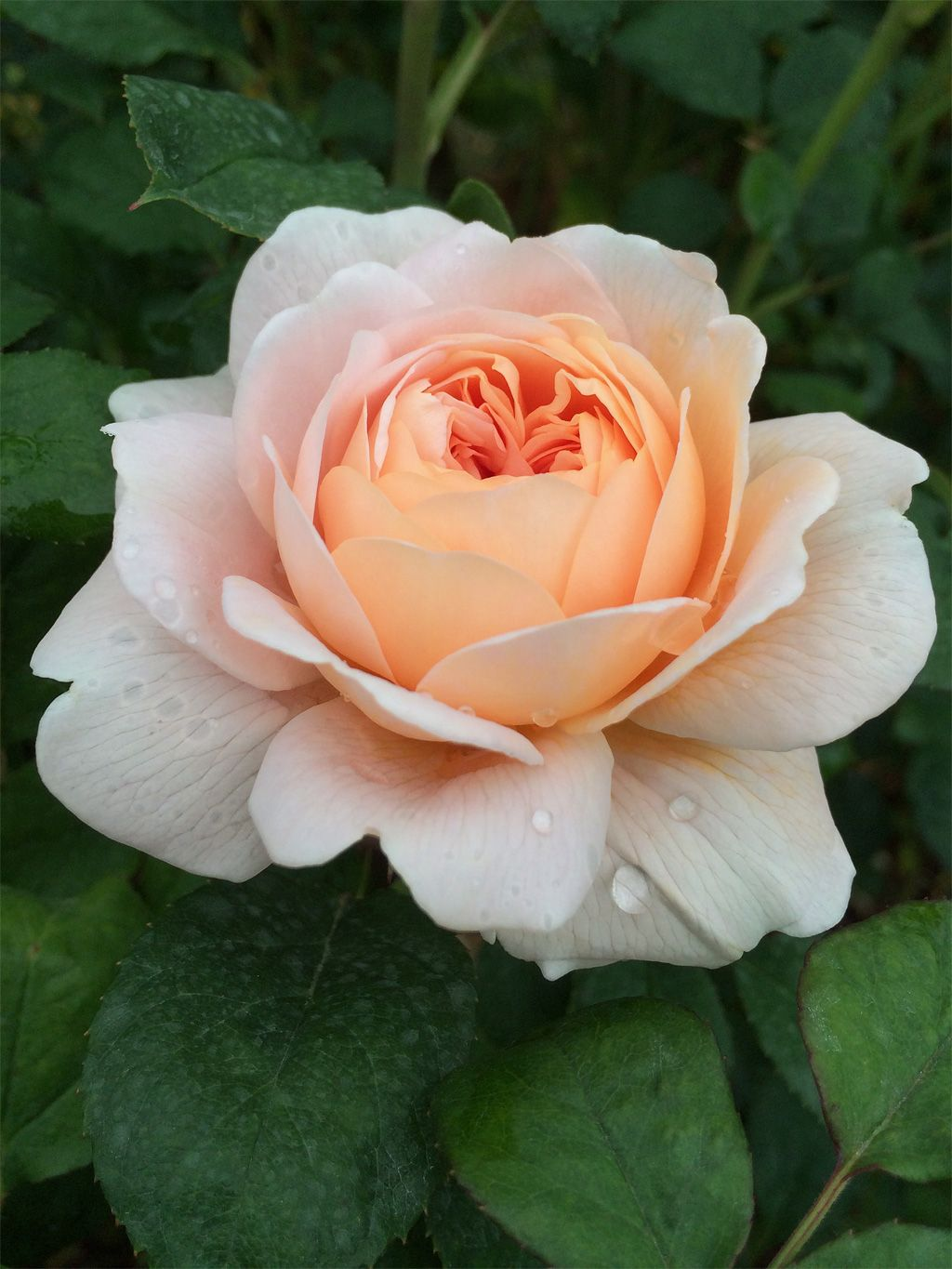 Rose Bloom With Raindrops Beautiful Flowers Pinterest Rose