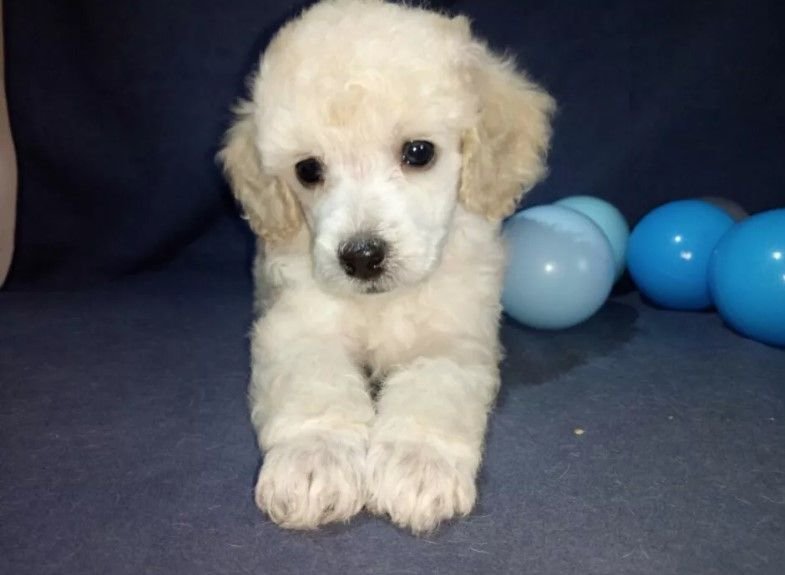 Poodle Dogs 70 Male Poodle Dog Names Dog Names Cute Cats Dogs