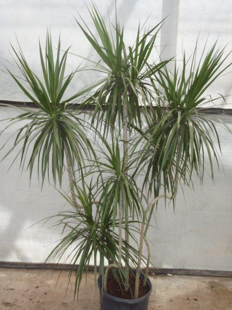 Dracaena Marginata Plants Dracena Dracena Plant