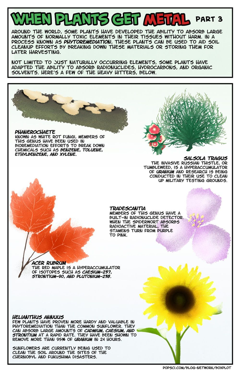 Phytoremediation using plants to clean soil Plants