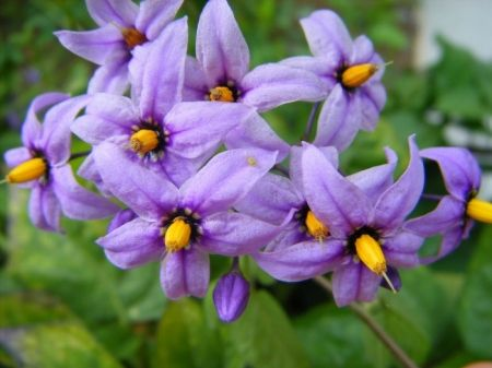Bittersweet Nightshade Flowers Nightshade Flower Flower Lover Flower Pictures