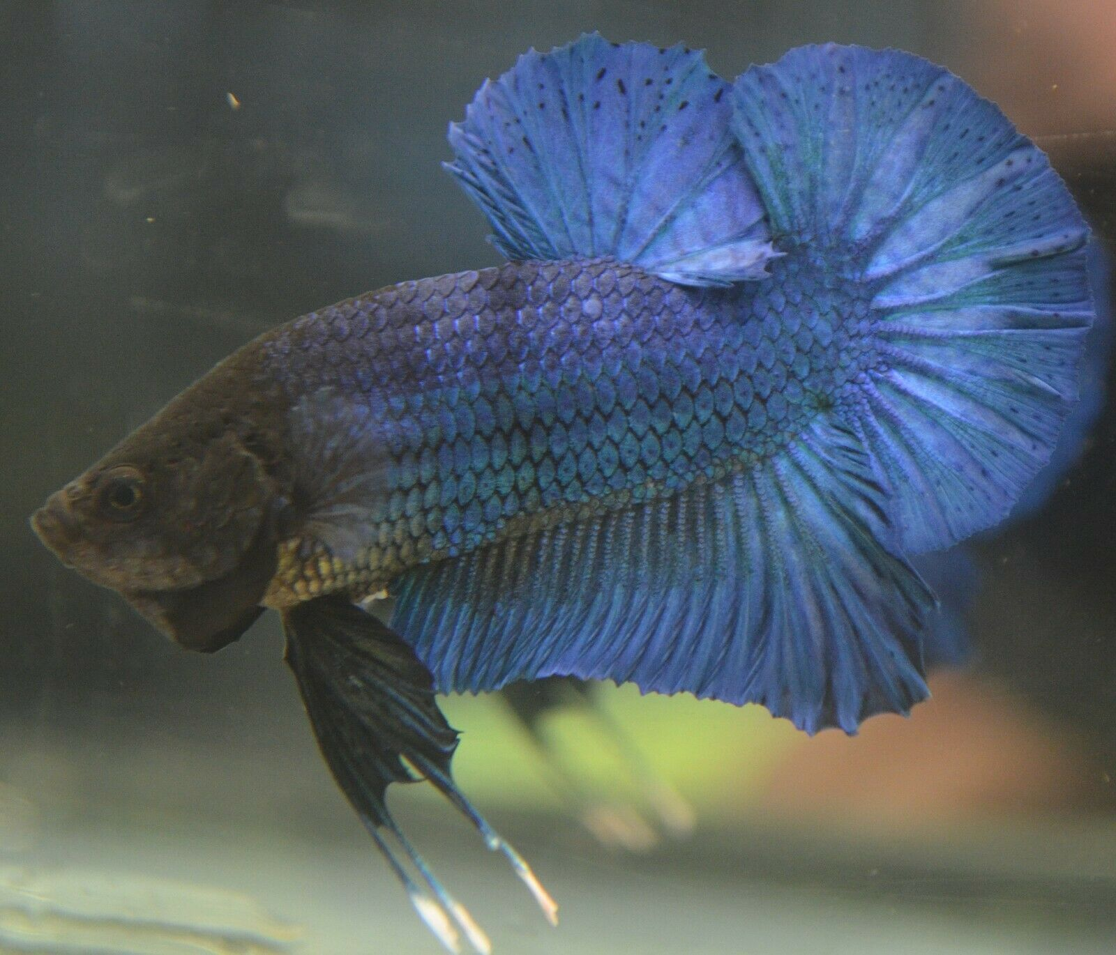 Live Betta Fish Imported Male Turquoise Halfmoon Plakat Male Betta Fish Ideas Of Betta Fish Bettafish Live Betta Fish Betta Fish For Sale Betta Fish