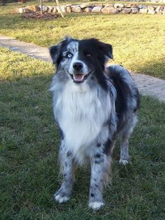 Australian Shepherd Blue Merle No Copper With Spilt Face Dogs