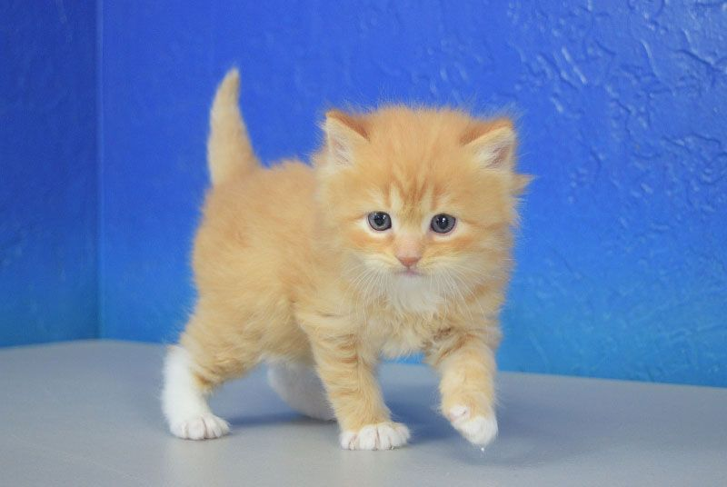 Keenan Red Mitted Tabby Solid Ragdoll Cat Kitten From Www