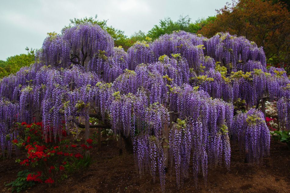 The Ultimate Travel Guide For The Wisteria Japan Gardens Wisteria Japan Japan Garden Wisteria