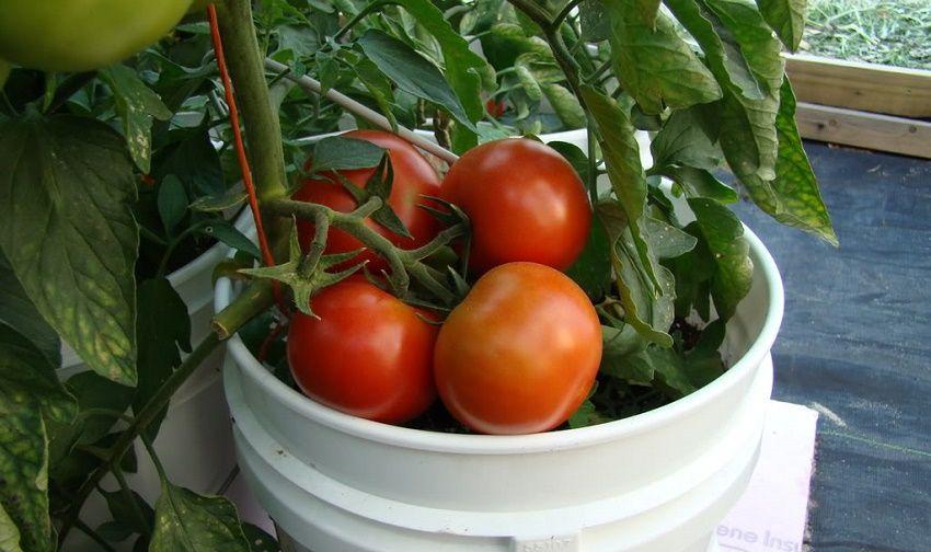 es posible plantar tomates en macetas? | mis plantas | pinterest
