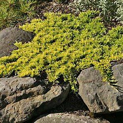 Mother Lode Juniper Plants Landscape Rooftop Garden