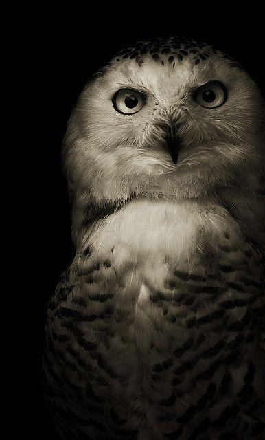 white owl, black background