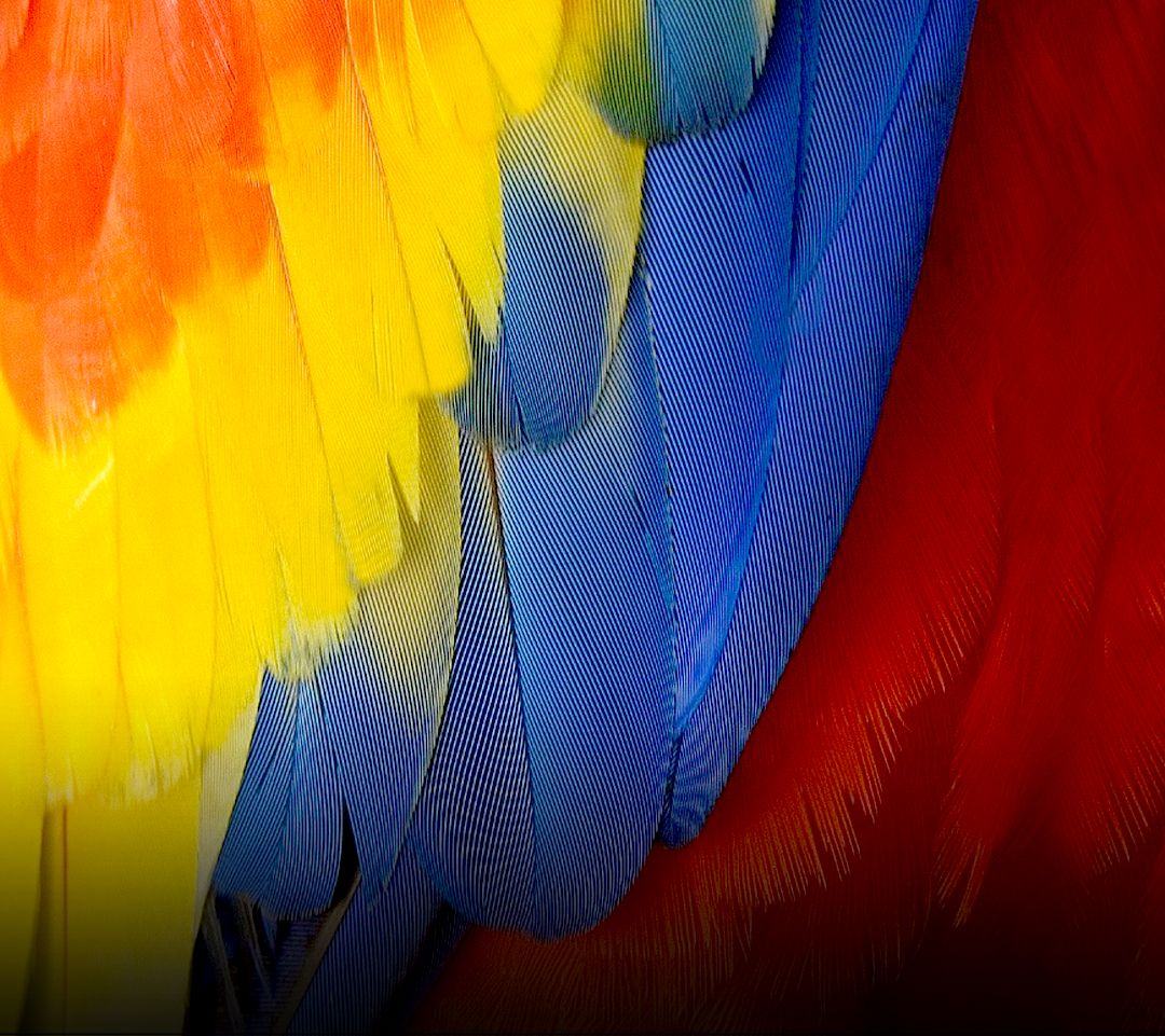 Primary Colors Parrot Wing Current Phone Wallpaper