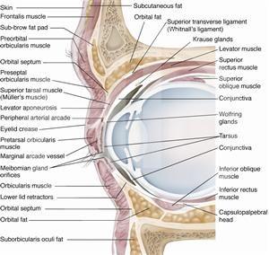 eyelid anatomy eyes anatomy eye anatomy optometry. Black Bedroom Furniture Sets. Home Design Ideas