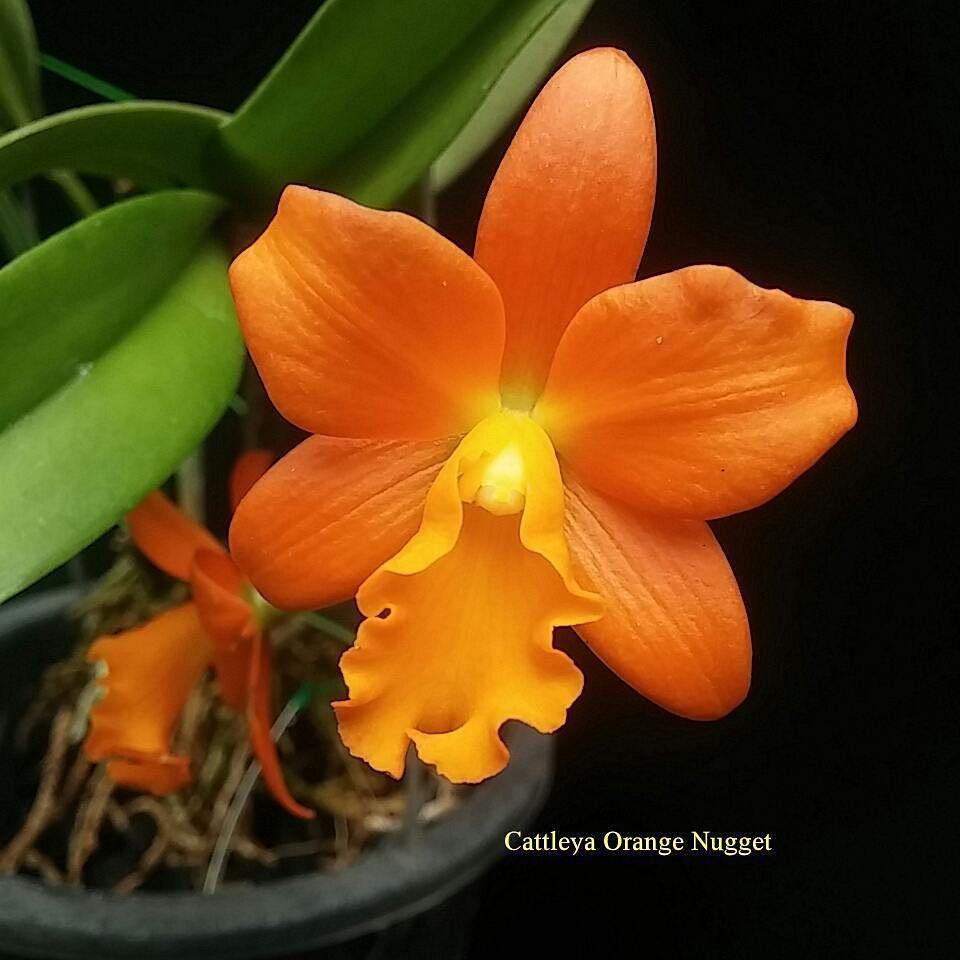 Cattleya Orange Nugget Mulai Dari 200 Rb Anggrekmurah Eshaflora